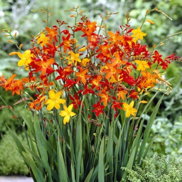 Flickering Flames Crocosmia Mix