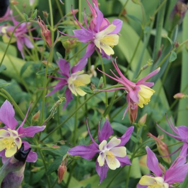 Aquilegia caerulea 'Earlybird Purple Yellow'