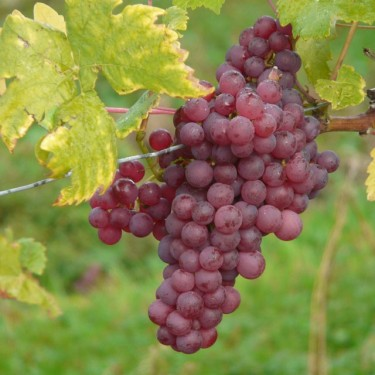 Grape Seedless 'Vanessa'