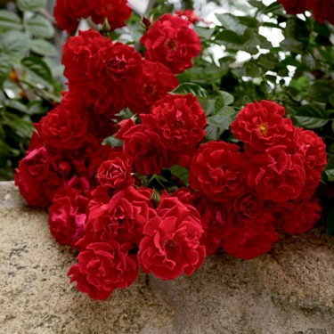 Red Ribbons Weeks Groundcover Rose