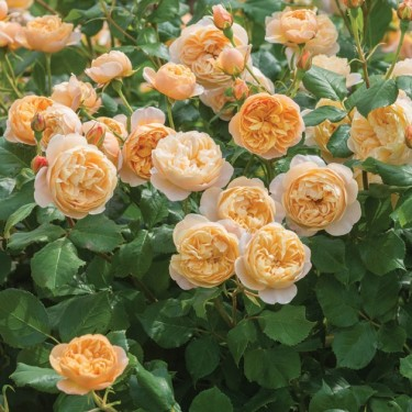 Roald Dahl David Austin English Rose