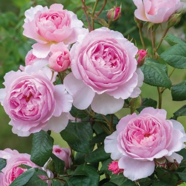 The Ancient Mariner David Austin English Rose