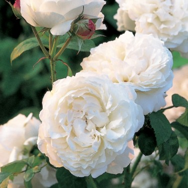 Winchester Cathedral David Austin English Rose