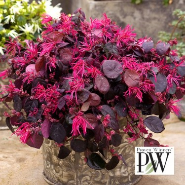 Loropetalum 'Jazz Hands Dwarf Pink'