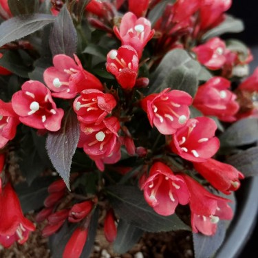 Weigela 'Electric Love'