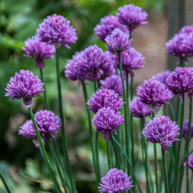 Chives-Aimer's Organic Seed