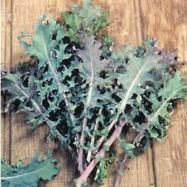 Kale 'Red Russian'-Aimer's Organic Seed