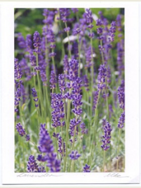 Lavender Card Set