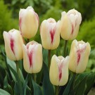 Blushing Girl Giant Beauty Tulip