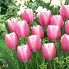 Jumbo Beauty Giant Beauty Tulip