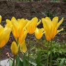 Yellow Empress Fosteriana Tulips