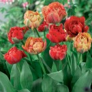 Double Gudoschnik Double Late Tulip