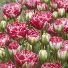 Dazzling Sensation Collector Series Tulip