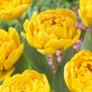Yellow Pomponette Double Late Tulip