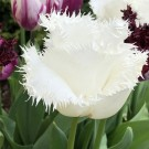 North Pole Fringed Tulip