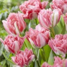 Crispion Sweet Collector Series Tulip