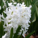 Carnegie Regular Hyacinth