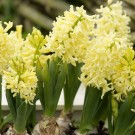 City of Haarlem Regular Hyacinth