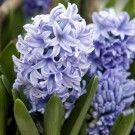 Delft Blue Regular Hyacinth
