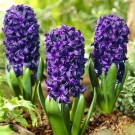 Aida Regular Hyacinth