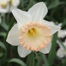 Queen's Delight Novelty Narcissi