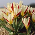 The First Kaufmanniana Tulip