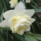 Snow Angel Double Narcissi