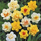Twice as Nice Double Narcissi Mix