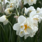 Bridal Crown Poetaz Narcissi