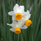 Canaliculatus Mini Narcissi