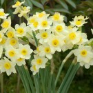 Minnow Mini Narcissi