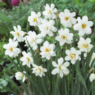 Double Poeticus Recurvus Novelty Narcissi