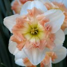 Mallee Collector Series Narcissi