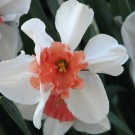 Perfect Lady Collector Series Narcissi