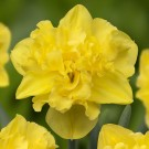 Sailorman Collector Series Narcissi