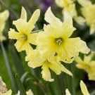 Exotic Mystery Novelty Narcissi