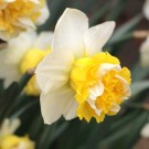 Wave Collector Series Narcissi