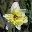 Valdrome Collector Series Narcissi