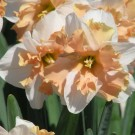 Apricot Sundae Collector Series Narcissi