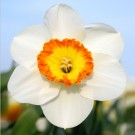 Roulette Collector Series Narcissi