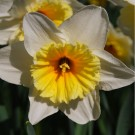 Slim Whitman Collector Series Narcissi