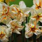 Trepolo Collector Series Narcissi