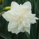 White Medal Collector Series Narcissi