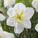 Lemon Beauty Collector Series Narcissi