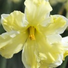 Cassata Collector Series Narcissi