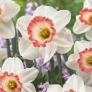 Pink Charm Cupped Narcissi