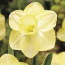 Fellows Favorite Cupped Narcissi