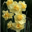 Yellow Cheerfulness Poetaz Narcissi