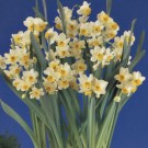 Chinese Sacred Lily Indoor Narcissi