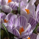 Striped Beauty Large Flowering Crocus